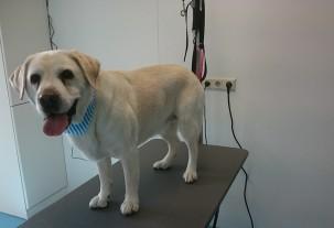 anti rui behandeling extreem haarverlies kortharige hond trimster eindhoven