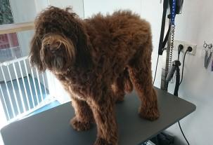 labradoodle pup met lange haren bij trimsalon pet styling in eindhoven