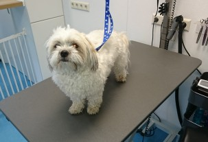 boomer bij trimmer Pet Styling Cecile Eindhoven
