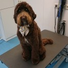 knippen labradoodle door trimster Pet Styling Cecile Eindhoven