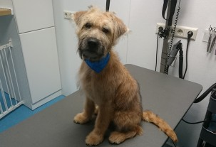 wheaten pup kruising bij trimmer pet styling in eindhoven veldhoven