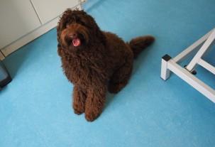 Australische cobberdog in trimsalon Pet Styling Cecile Eindhoven