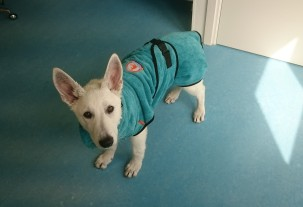 Witte herder pup in trimsalon voor behandeling tegen haarverlies