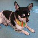 chihuahua met probleem haarverlies geholpen bij trimsalon pet styling cecile